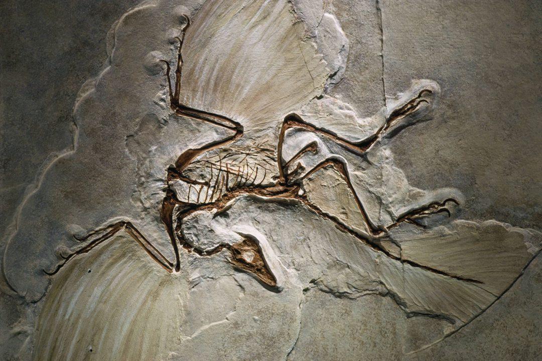 Archeaeopteryx fossile